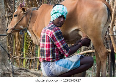 Thiruvallur District, Ponneri - Thirupalaivanam, Tamil Nadu, India, January 27, 2019: A Young Milkman or Milk Man Milking His Cow