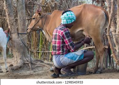 Thiruvallur District, Ponneri - Thirupalaivanam, Tamil Nadu, India, January 27, 2019: A Young Milkman or Milk Man Milking His Cow