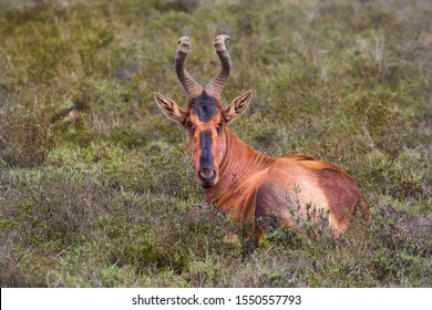This alert and non-aggressive antelope is called Hartebeest. It a spectacular African antelope Inhabiting in dry savannas and wooded grasslands.