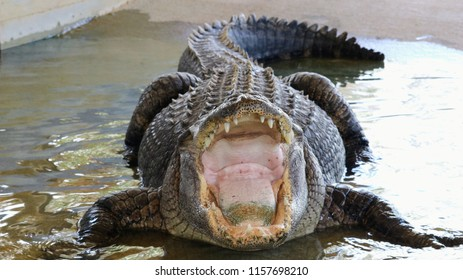 This alligator is around 30 years old, his name is Charlie and he have been doing performances in front of people his whole life.