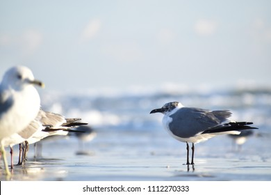 This almost adult laughing gull is soaking up the sun on a cool winter morning at New Smyrna Beach.