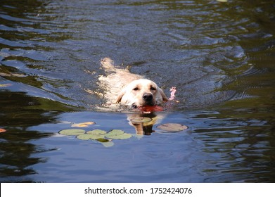 This animal crosses the water lilies without problem. It's hot then it cools it. We see the face. It is a beautiful beast this Labrador. Pretty. Quebec, Canada; August 1, 2010
