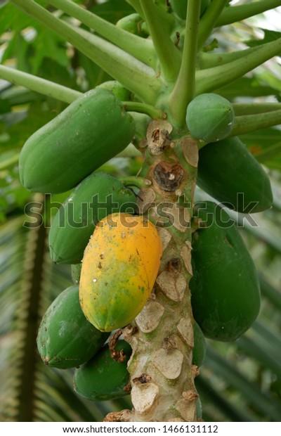 In diesem Artikel geht es um Carica papaya, die weithin kultivierte Papaya (auch Papaw oder Pawpaw genannt), eine tropische Obstpflanze. Für die Papaya (Vasconcellea pubescens) in Südamerika