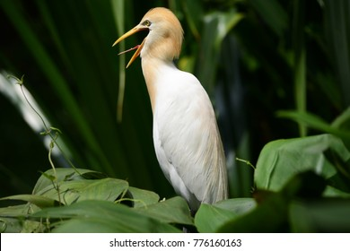 This Asian Egret is making quite a racket, noisily squawking in the bushes to let prospective mates know it is available. A beautiful, white cream and caramel-coloured creature.