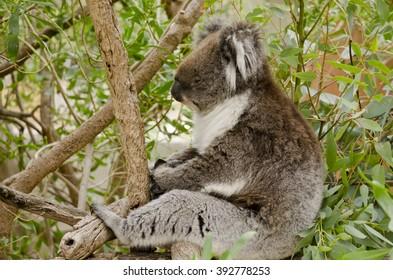this is an australian koala in a eucalyptus tree