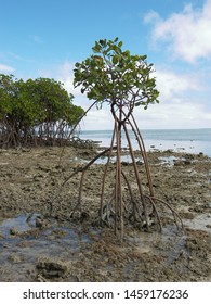 This avicennia marina comes from Tonga islands. During the day the level of the sea rises and falls due to the tide phaenomena. For this reason the roots of this plant are tall.