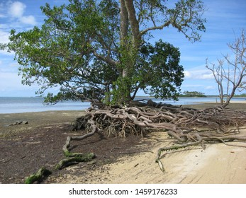 This avicennia marina is a tree grown on the sand. The plant is in the family of the mangrove.