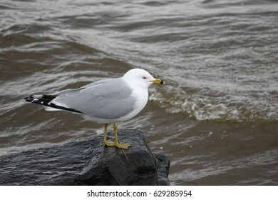 This is a beautiful adult Ring-billed Gull taking a pause on a rock.
