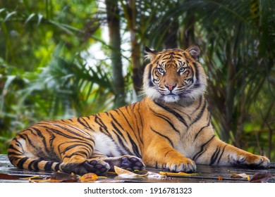 This beautiful Bengal tiger is looking relaxed and sitting like an innocent cat. Although they can be quite aggressive and dangerous in the wild.