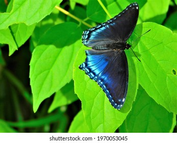 This is a beautiful blue butter fly  on a plant