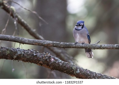 This beautiful Blue Jay sat there and let me take its picture