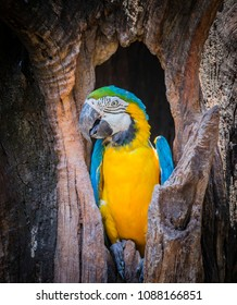 This beautiful blue-and-yellow macaw (Ara ararauna), also known as the blue-and-gold macaw.That live in tree hollows