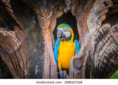 This beautiful blue-and-yellow macaw (Ara ararauna), also known as the blue-and-gold macaw.that live in tree hollows.