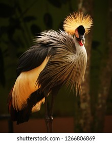 This beautiful crowned crane was captured i national park. The bird is from crane family and has crown life whiskers in the head.