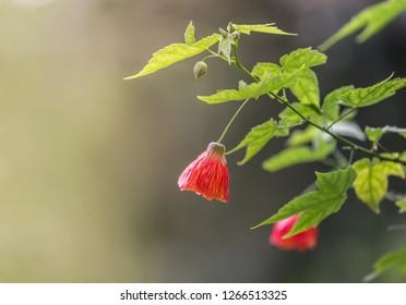 this beautiful flower commonly known as redvein abutilon, red vein Indian mallow, redvein flowering maple, Chinese-lantern or red vein Chinese lanterns.