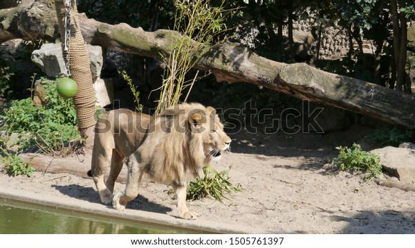 This beautiful lion is taking a stroll in his living environment