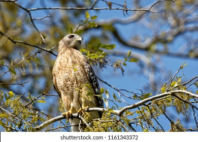 This beautiful male Red-shouldered Hawk posed for me for over an hour on and around a golf course on Hilton Head Island, SC in April.