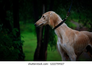 This is beautiful picture of a Saluki Dog.Playing outdoor in the grass