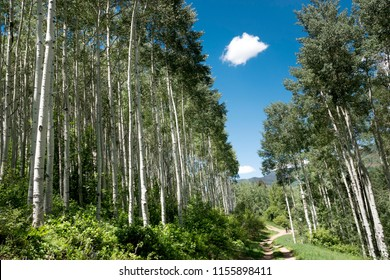 This beautiful view of tall Aspen trees lining a mulit-use bike trail in Vail Colorado with deep blue sky and single white cloud illustrates well the high altitude beauty of the Rocky Mountains.