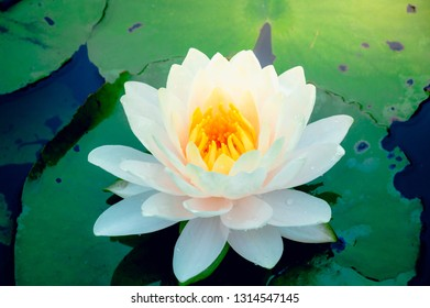 This beautiful water lily or lotus flowers blooming at the pond  with green leaves as background.Blooming white and yellow  Lotus flower or Nymphaea nouchali  is a water lily of genus Nymphaea