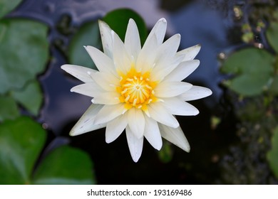 This beautiful waterlily or lotus flower is complimented by the rich colors of the water