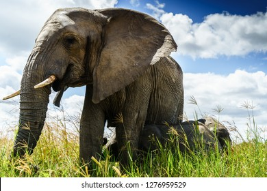 This 'Big Mama' is an elderly elephant taking care of three adopted baby elephants. The mothers of these young baby's have been killed by poachers.