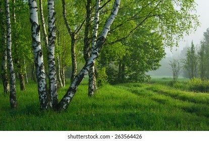 This is birch wood in Caucasus nature in morning