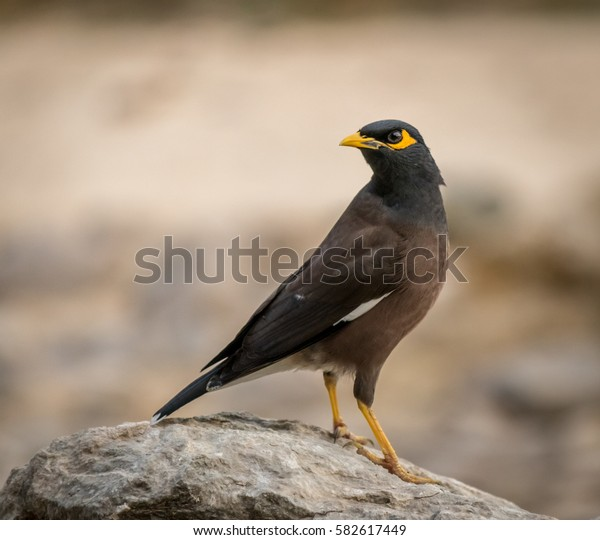 This bird is called the Common Myna. It is native to Asia and very common to see in Dubai.
