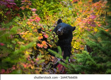 This Black Bear was gorging herself on berries fattening herself up for her winter slumber.