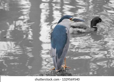 this is a black crowned night heron (native to most of the americas and Africa for breeding) (color splash edit)
