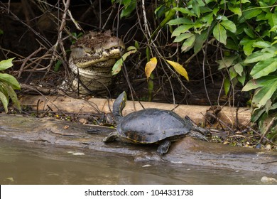 This black river turtle may be questioning a decision to sun itself on a log so near to a large caiman on the Rio Negro in Costa Rica.