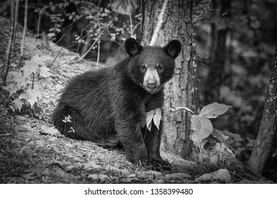 This is a black and white photo of a young black bear is eating on leaves in the mountains of Western North Carolina.