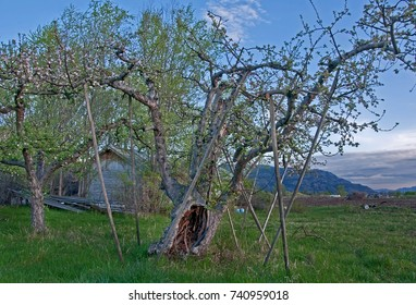 This blooming apple tree is part of an apple orchard planted in the 1850's by pioneer and settler Okanogan Smith, the first known apple orchard of Washington State.