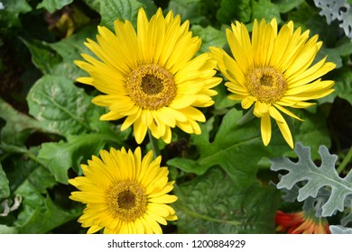 This is blooming sunflowers in Taman Bunga Nusantara, Cianjur, Indonesia.