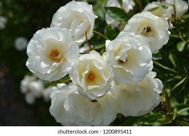 This is blooming white roses in Taman Bunga Nusantara, Cianjur, Indonesia.