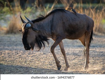 This is a blue wildebeest (Connochaetes taurinus), also called the common wildebeest, white-bearded wildebeest, or brindled gnu, is a large antelope and one of the two species of wildebeest.