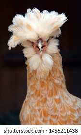 """This breed is called a Polish, also known as a """"Top Hat"""" chicken because of the feathers poking out of the top of her head"""