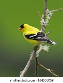 This brightly colored male goldfinch pauses briefly on a mossy branch before flying off in search of a mate
