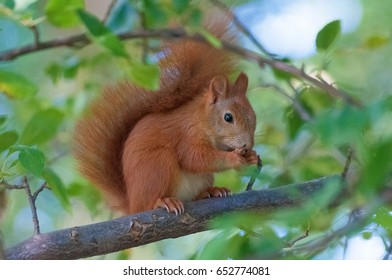 This is a brown squirrel she sits on a branch and they peep