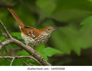 This brown thrasher pauses briefly on an open perch before sneaking back into the underbrush for cover