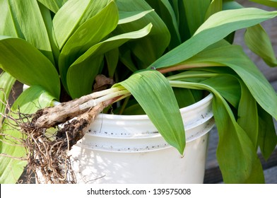 This bucket contains wild onions, also known as ramps, wild leeks, or wild garlic. They are a favorite wild edible of spring.