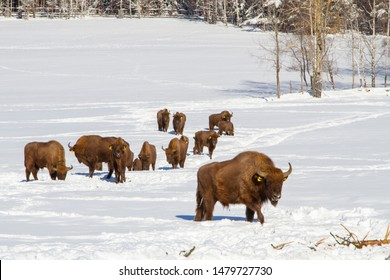 This buffalo is part of a herd on a farm in Kristanov, Czech Republic, near the Sumava national park. The Bisons are being bred in order to revive and maintain the genetic diversity, also for meat.