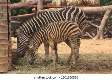 This Burchell's zebra has a laugh in the National Park.