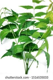 This is called neem leaf .Scientific name is azadirachta indica leaf