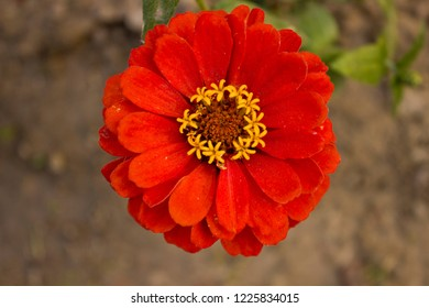 this is called zinnia elegans and also known as common zinnia