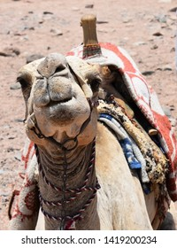 This camel was angry when i pictured him