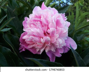 This charming peony blooms in lush pearlescent buds with a light sweet scen