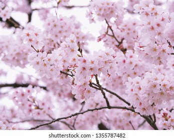 This is Cherry blossoms of Japan.