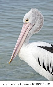 this is a  close up of an Australian pelican