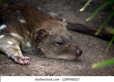 this is a close up of an Australian quoll resting